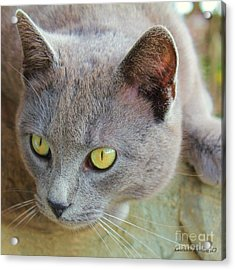 The Gray Cat Acrylic Print