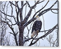 The Great American Bald Eagle Acrylic Print by Gary Smith