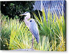The Great Blue Heron Acrylic Print by Marilyn Holkham