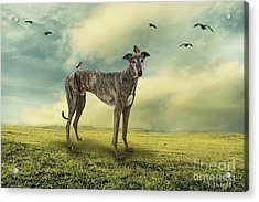 The Greyhound Acrylic Print by Ethiriel  Photography