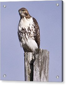 The Hawk Acrylic Print by Valerie Wolf