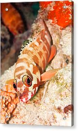 The Hawkfish Acrylic Print by MotHaiBaPhoto Prints