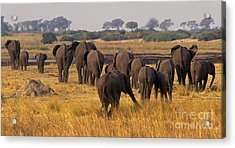 Acrylic Print featuring the photograph The Herd - Chobe Np Botswana by Craig Lovell