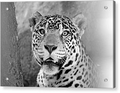The Jaguar Spots You Acrylic Print