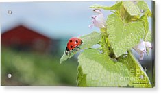 The Lady Bug  No.2 Acrylic Print