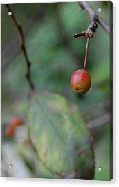 The Last Berry Acrylic Print by Beverly Hammond