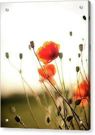 The Last Poppies Of Summer 1 Acrylic Print