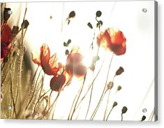 The Last Poppies Of Summer 2 Acrylic Print