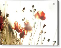 The Last Poppies Of Summer 3 Acrylic Print