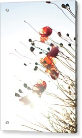 The Last Poppies Of Summer 4 Acrylic Print