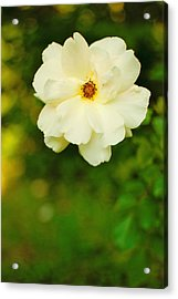 The Last Rose Acrylic Print by Robin Morse