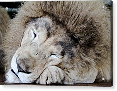 The Lion Sleeps Acrylic Print by Elizabeth Hart