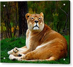 Acrylic Print featuring the photograph The Lioness by Davandra Cribbie