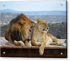 The Lions Acrylic Print by Olga Vlasenko