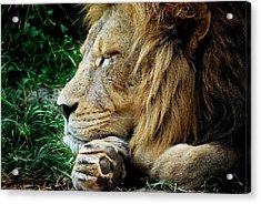 The Lions Sleeps Acrylic Print
