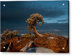 The Lonely Juniper Acrylic Print