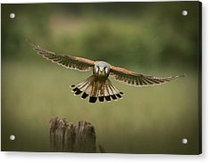 The Male Of The Species Acrylic Print by Andy Astbury