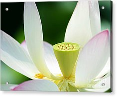 The Middle Of A Lotus Acrylic Print by Sabrina L Ryan