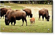 The Mighty Bison Acrylic Print by Ellen Heaverlo