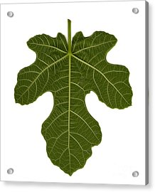 The Mission Fig Leaf Acrylic Print