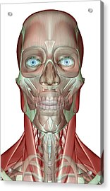The Musculoskeleton Of The Head, Neck And Face Acrylic Print by MedicalRF.com
