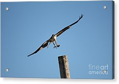 The Osprey's First Catch Collection Image I Acrylic Print by Scenesational Photos
