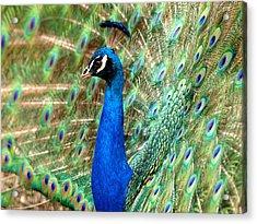 The Peacock Acrylic Print by Paul Ge