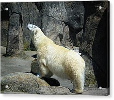 The Polar Pose Acrylic Print