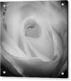 The Princess Diana Rose IIi Acrylic Print by David Patterson