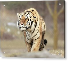 The Prowler Acrylic Print by Inspired Nature Photography Fine Art Photography
