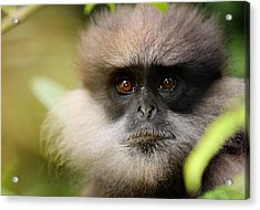 The Purple-faced Langur. Nuwara Eliya.sri Lanka Acrylic Print by Jenny Rainbow