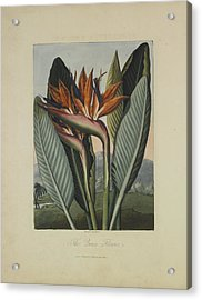 The Queen Flower Acrylic Print by Robert John Thornton