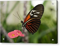 The Red Admiral  Acrylic Print