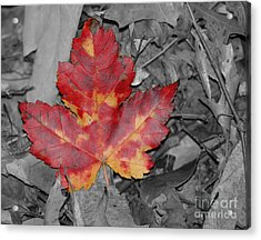 The Red Leaf Acrylic Print by Paul Ward