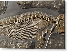 The Ribs And Spine Of Ichthyosaur Acrylic Print by Jason Edwards