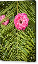 The Rose And The Fern Acrylic Print by Sheri Van Wert