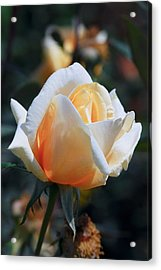 Acrylic Print featuring the photograph The Rose by Fotosas Photography