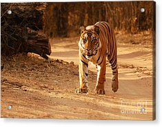 Acrylic Print featuring the photograph The Royal Bengal Tiger by Fotosas Photography