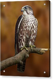 The Saker Falcon Acrylic Print by Deak Attila