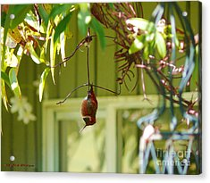 The Sleeping Hummingbird Acrylic Print by Gail Bridger