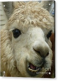 The Smiling Alpaca Acrylic Print by Therese Alcorn