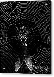 The Spider And The Fly . Black And White Acrylic Print by Wingsdomain Art and Photography