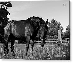 Acrylic Print featuring the photograph The Stallion by Davandra Cribbie