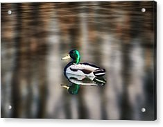 The Swimming Duck Acrylic Print by Gary Smith