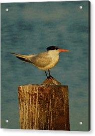 The Tern Acrylic Print by Ernie Echols