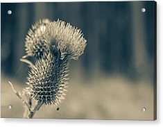 The Thistle Acrylic Print by Andreas Levi