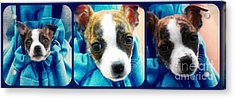 The Three Amigos Teacup Chihuahua Acrylic Print by Peggy Franz