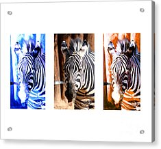 Acrylic Print featuring the photograph The Three Zebras White Borders by Rebecca Margraf