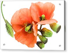 Acrylic Print featuring the photograph The Torn Off Poppy. The Broken Life. by Aleksandr Volkov