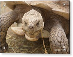 The Tortoise  Acrylic Print by J Jaiam